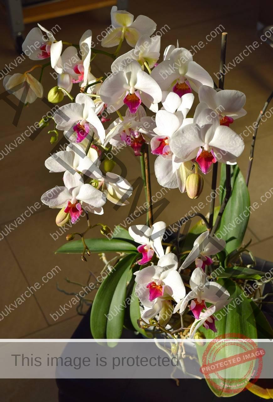 Кафе за орхидеята, за да цъфти обилно и красиво