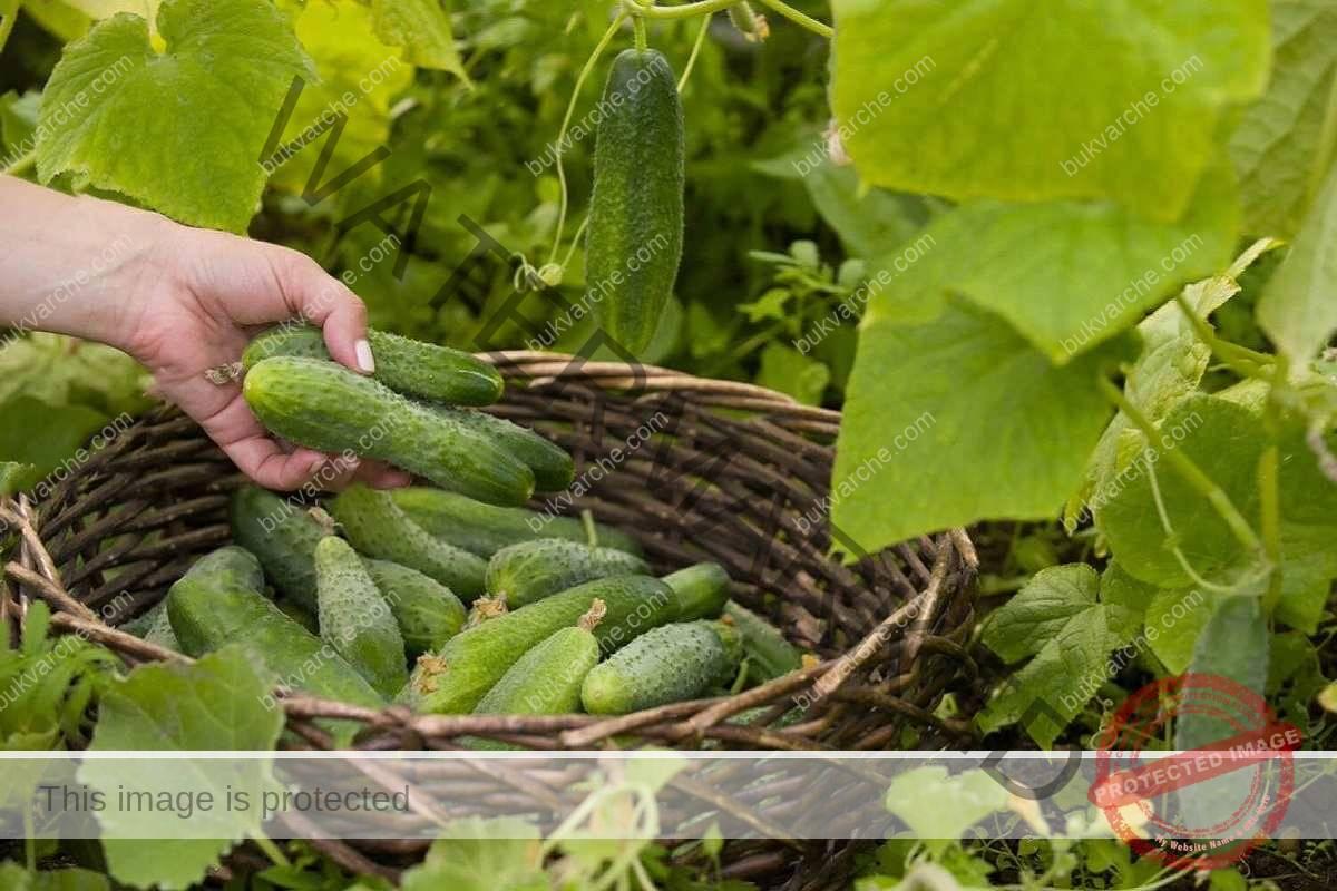 Поливане на краставиците - какви грешки да не допускате?