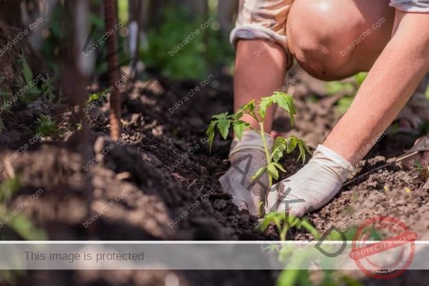 Защита на картофите и доматите от болести и вредители