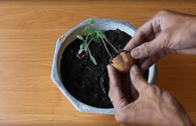 Разсад от домати в черупки от яйца. Всеки може да се справи