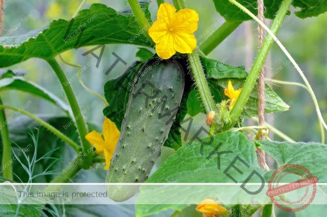 Коприва и мая за подхранване на краставиците