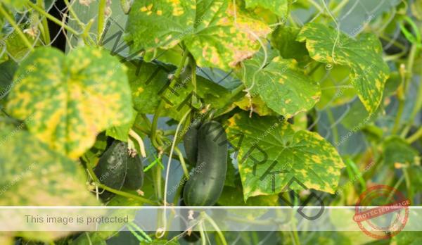 Органичен тор за краставици срещу пожълтяване на листата