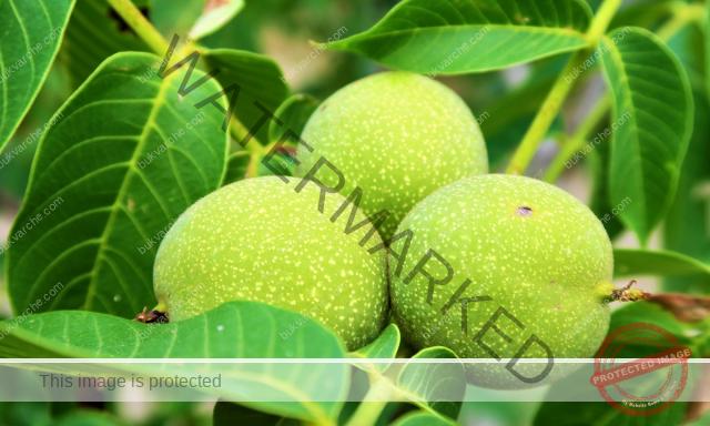 Орехова тинктура срещу гъбични инфекции и болки в корема