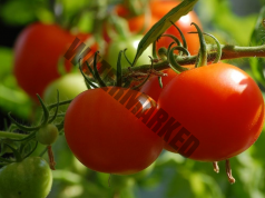 Отстранявайте издънките на доматите навреме!