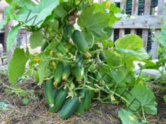 Подхранване с мляко на зеленчуците в градината