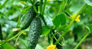 Подхранете краставиците с мляко за ранна реколта!