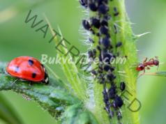 Разтвори срещу листни въшки, които да си направите у дома