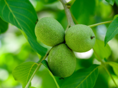Сироп от зелени орехи за прочистване на черния дроб