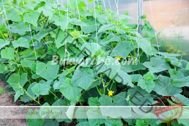 Соден разтвор за поливане на зеленчуците в градината