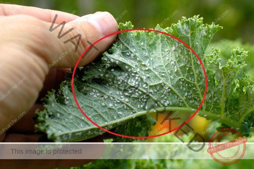 Трик срещу листни въшки с обикновена вода за уста