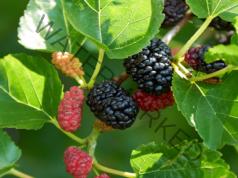 Чай от черничеви листа - подобрява функцията на черния дроб