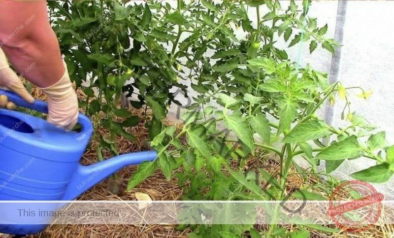 Пожълтели листа на доматите след засаждането им