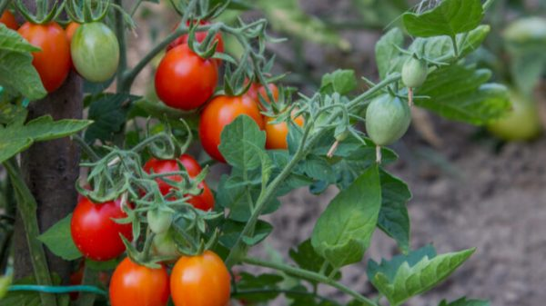 Growing Tomatoes 2