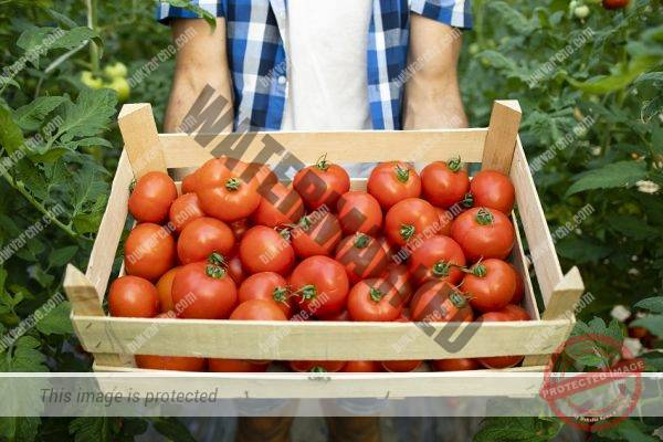 Close up view of wooden crate full of red tasty tomato vegetables.