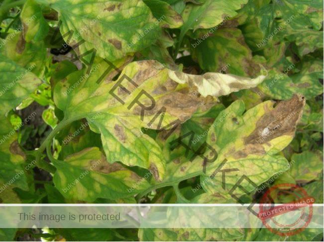 Доматените листа се усукват по няколко причини