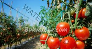 Бакпулвер в градината за подхранване на доматите и цветята