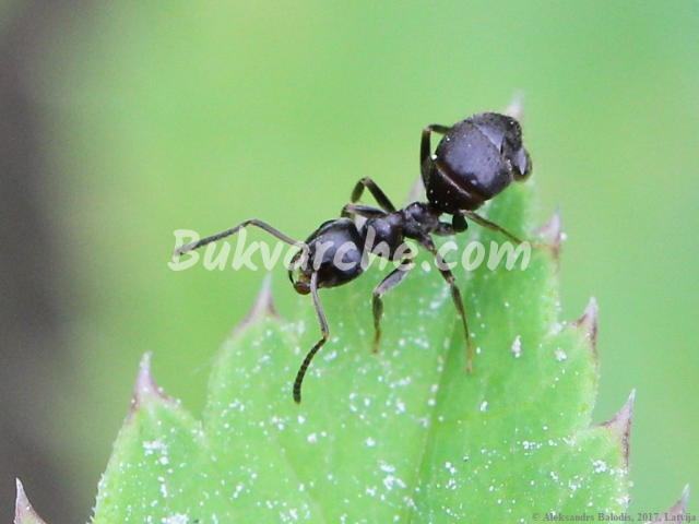 Мравките в градината могат да причинят много проблеми