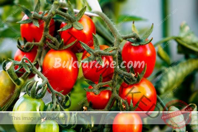 Най-добрите естествени торове за подхранване на доматите