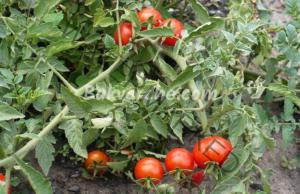 Пепел за доматите - ефективно средство за подхранване