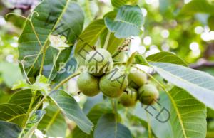 Тинктурата от зелени орехи помага при стомашни проблеми