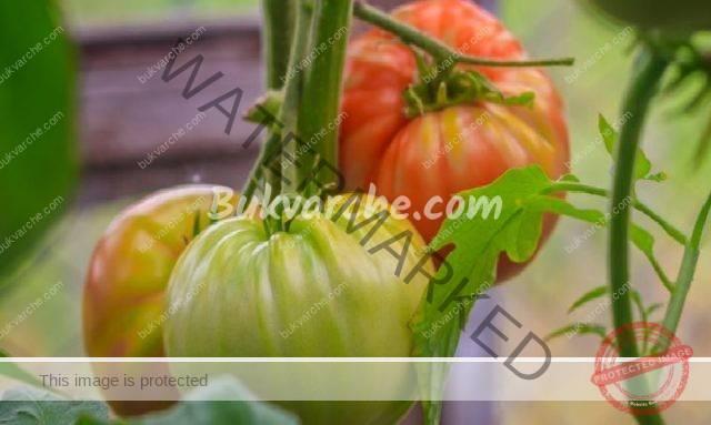 Августовски грижи за доматите за отлична реколта
