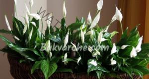 Опасни стайни растения, които могат да влошат здравето ви
