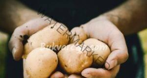 Правилни грижи за картофите за богата и вкусна реколта