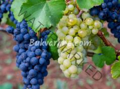 Детоксикация с грозде, която възстановява здравето