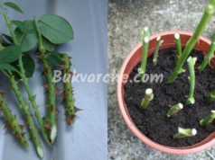 Как се размножават рози лесно и ефективно?