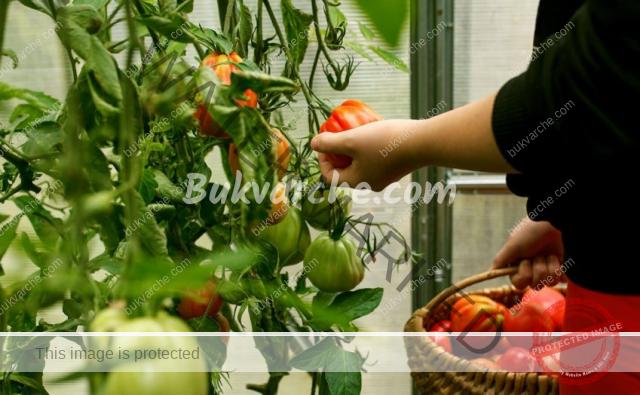 Ползи от доматените листа, за които не знаете