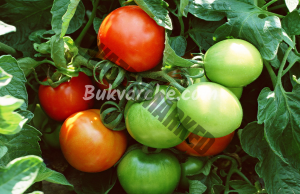 Ускорено зреене на доматите през есента - трикове