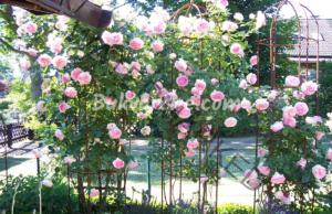 Лесно размножаване на рози без резници
