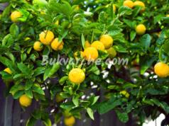 Отглеждане на лимоново дръвче - полезни съвети